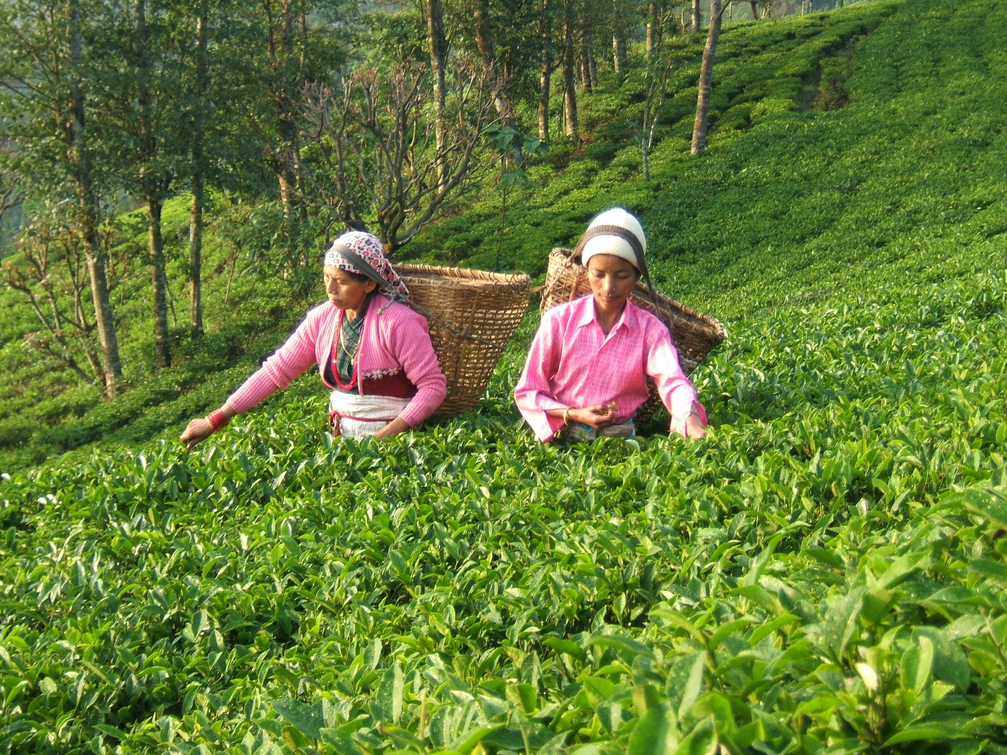 Tea plantationcrops in Arunachal Pradesh