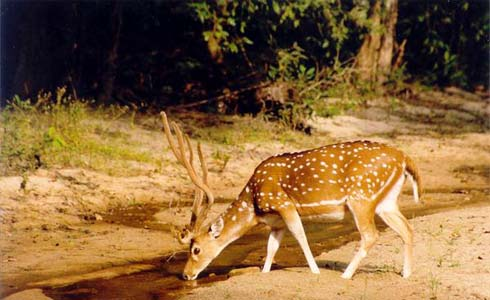 Wildlife India,Chital