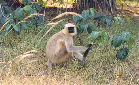 Wildlife India,Langur