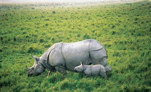 Wildlife,India,Rhinoceros,Rihno