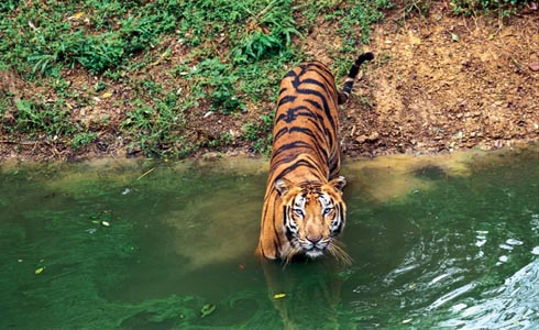 Wildlife Tiger Images